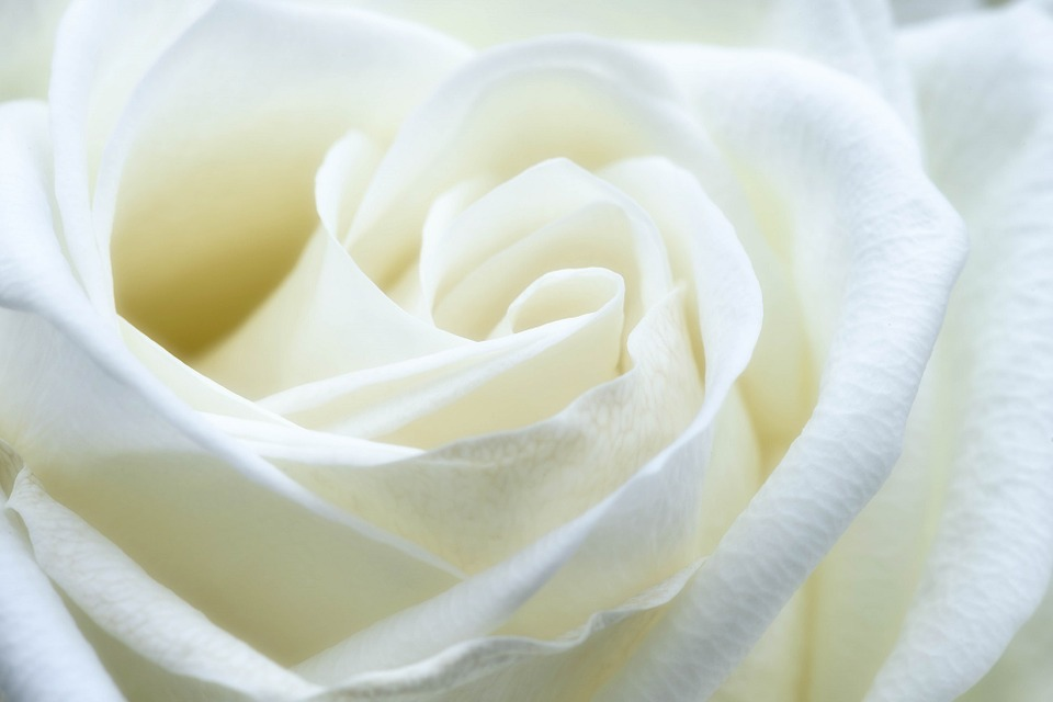 gambar mawar putih