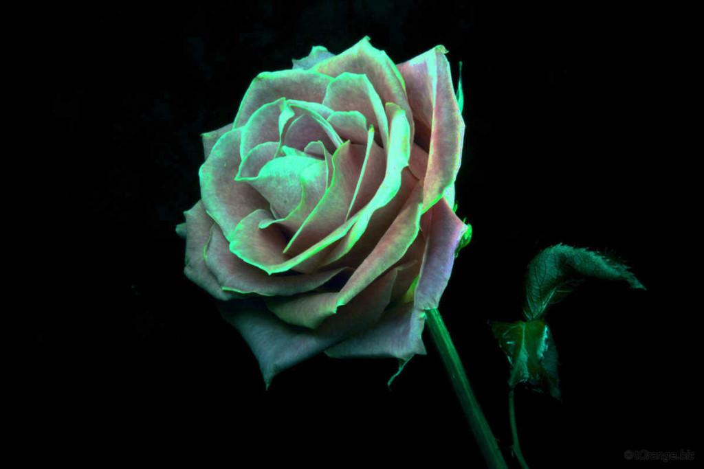 gambar bunga mawar hijau