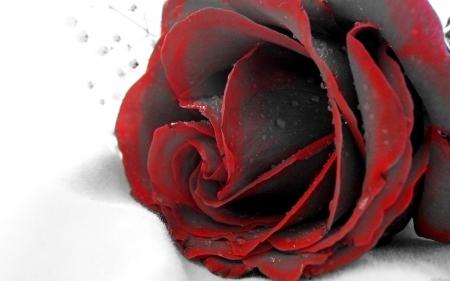 Gambar mawar merah hitam