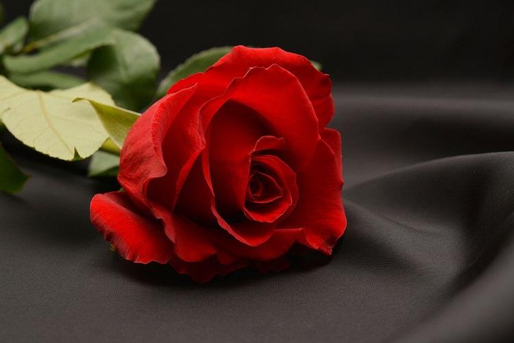 gambar mawar merah