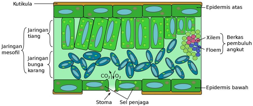 morfologi-tumbuhan-2