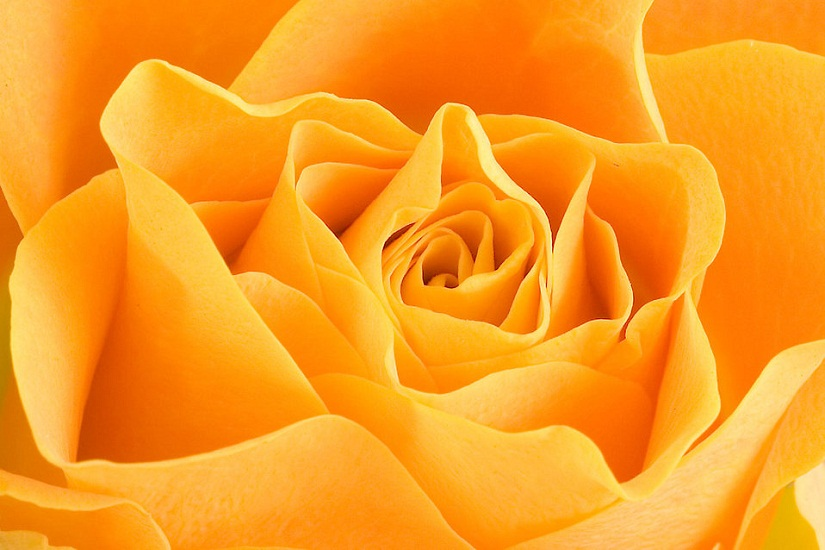 gambar mawar kuning