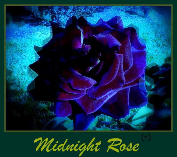 Gambar bunga mawar midnight