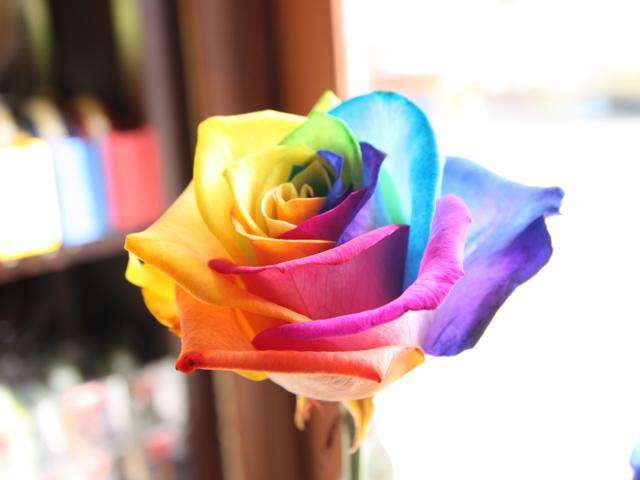 gambar bunga mawar pelangi