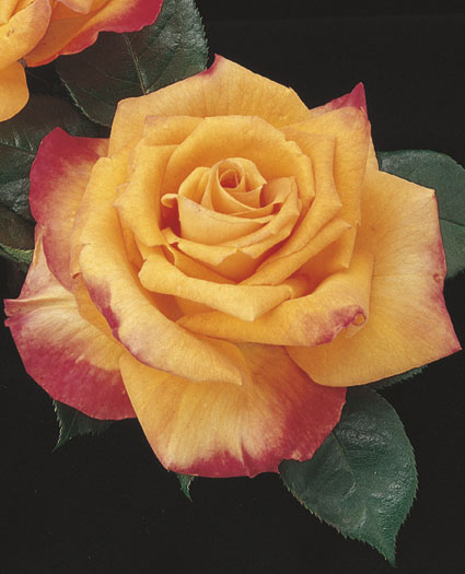 gambar mawar hibrida