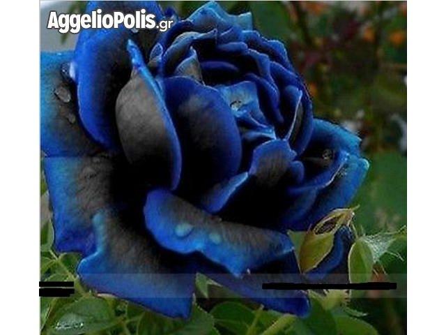 gambar mawar midnight