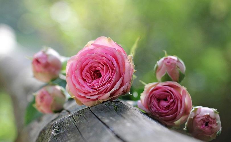 gambar mawar pink tercantik