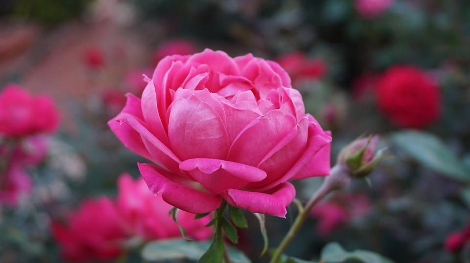 gambar mawar pink terindah