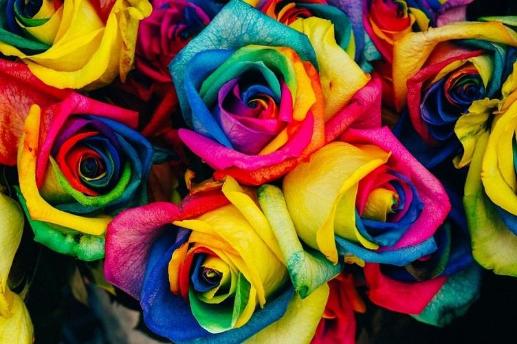 gambar bunga mawar rainbow