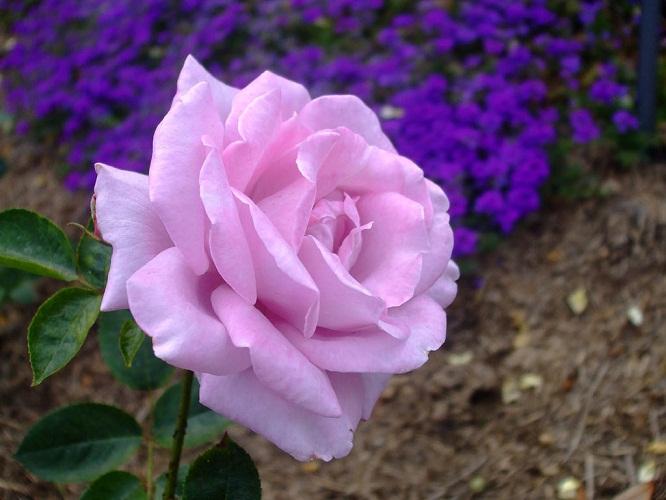 Gambar mawar ungu