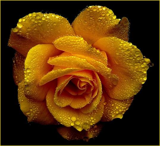 gambar bunga mawar kuning